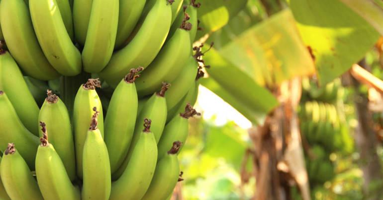 Früchtchen des Monats: die Banane